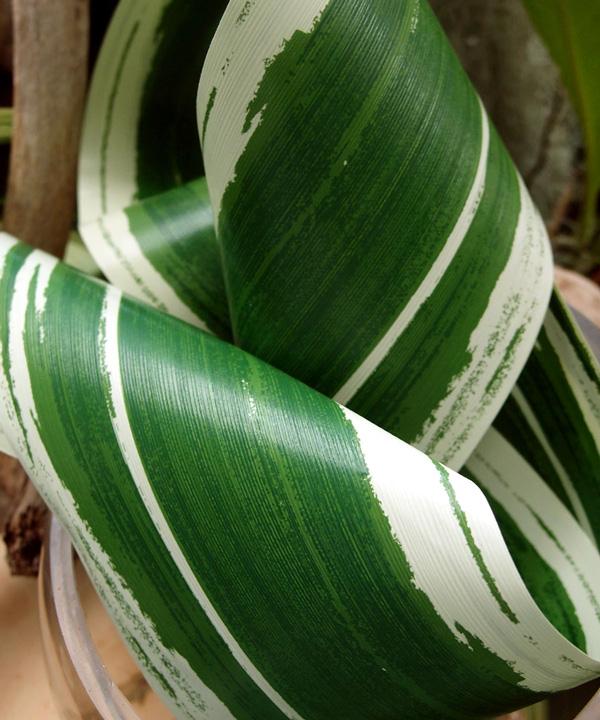 Variegated Aspidistra Ti Leaf Floral Ribbon